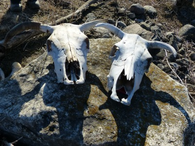 Cattle remains