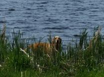 Bib taking a dip