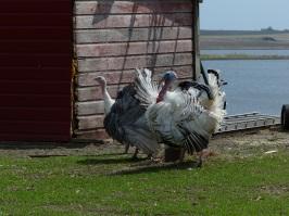 Turkeys showing off