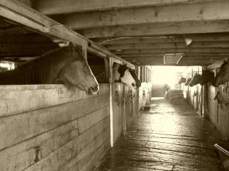 Good Morning Horses!