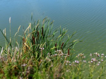 Cattails by the Water