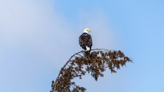 Bald Eagle (1 of 1)